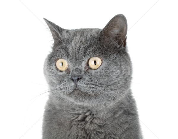 Closeup portrait of a grey cat Stock photo © karandaev