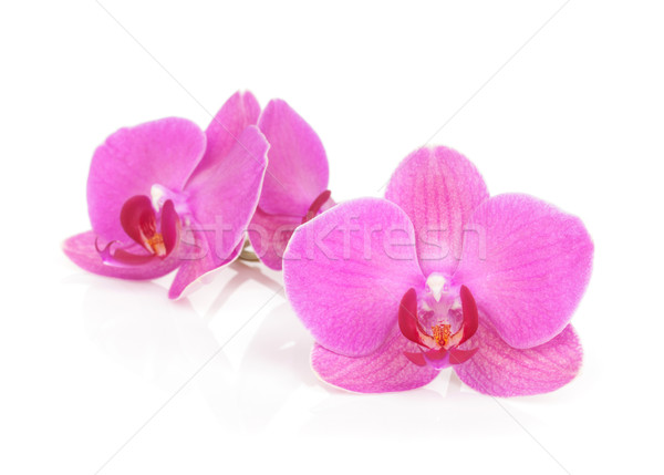 Stock photo: Pink orchid flowers