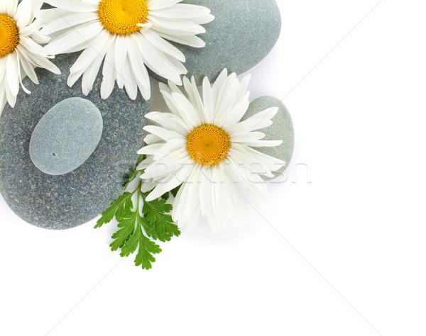 Daisy ромашка цветок морем камней изолированный Сток-фото © karandaev