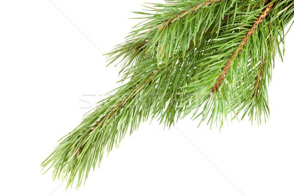 Green Firtree isolated on white background Stock photo © karandaev