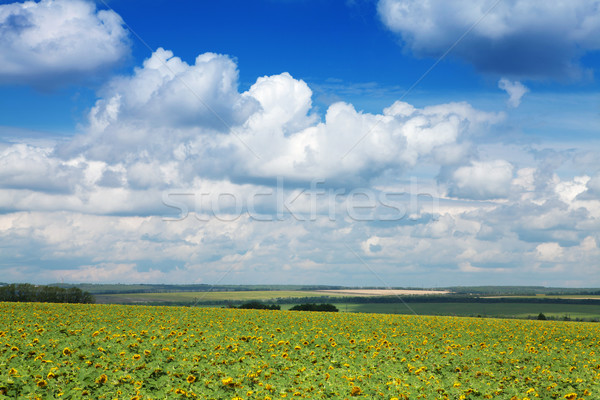 Foto stock: Amarelo · campo · girassóis · brilhante · blue · sky · nuvens