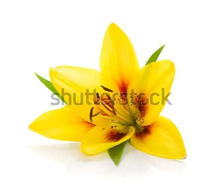 Yellow lily Stock photo © karandaev