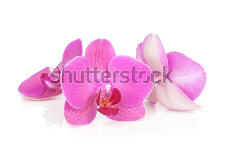 Stock photo: Three pink orchid flowers