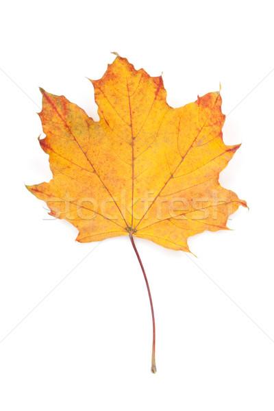 красочный осень Maple Leaf изолированный белый Сток-фото © karandaev