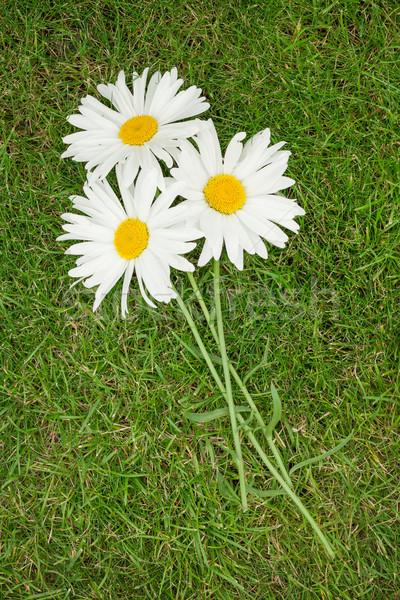 Three chamomile flowers Stock photo © karandaev