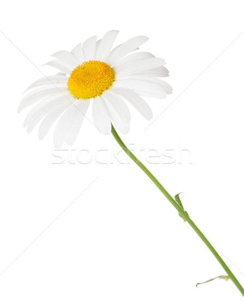 Daisy camomille fleur isolé blanche beauté Photo stock © karandaev