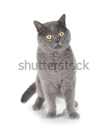 Giocare gatto grigio isolato bianco occhi ritratto Foto d'archivio © karandaev