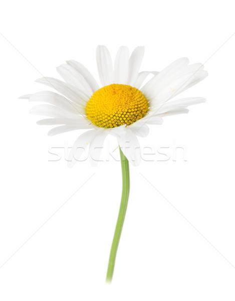Daisy chamomile flower Stock photo © karandaev