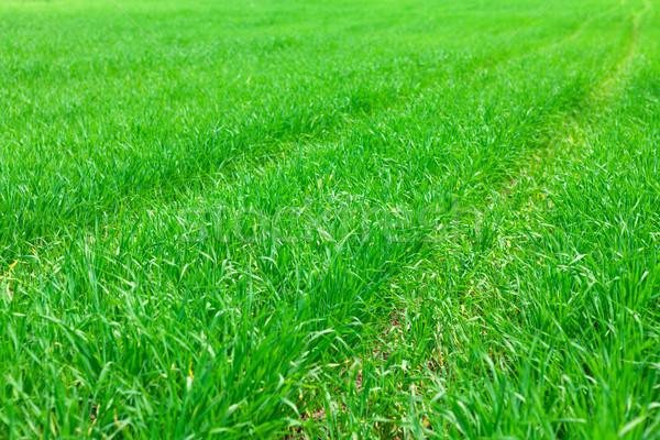 Zielona trawa dziedzinie łące tekstury trawy streszczenie Zdjęcia stock © karandaev