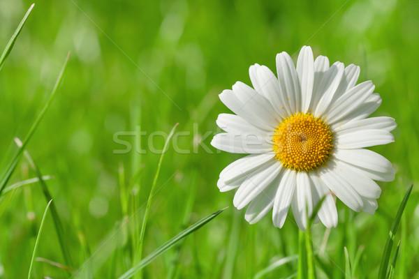 Chamomile flower on grass field Stock photo © karandaev