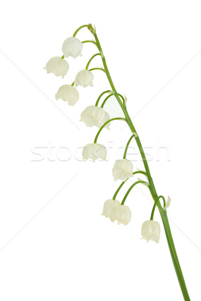 Lily of the valley in flowerpot Stock photo © karandaev