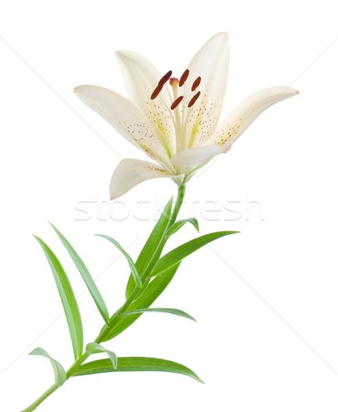 Сток-фото: белый · Лилия · изолированный · цветок · фон · листьев