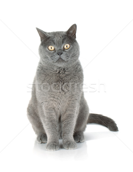 Sitting grey cat Stock photo © karandaev