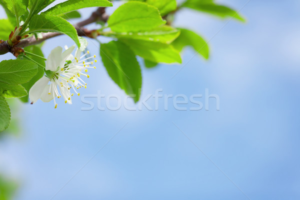 Apple blossom spring tree Stock photo © karandaev