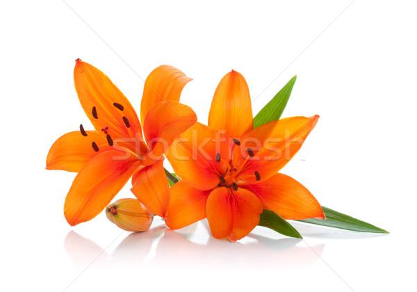 Dos naranja Lily aislado blanco flor Foto stock © karandaev