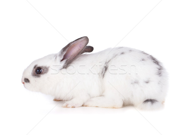 Small rabbit Stock photo © karandaev