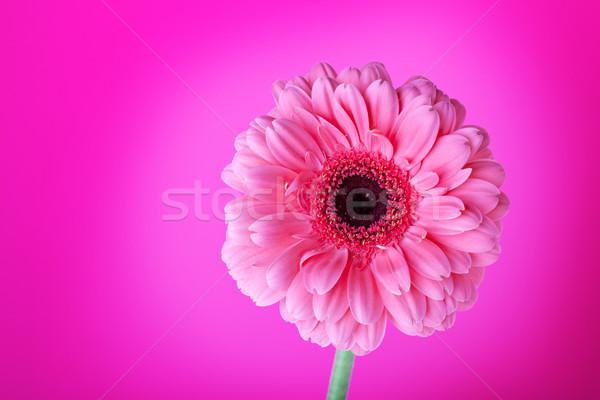 Foto stock: Flor-de-rosa · rosa · flor · gradiente · natureza