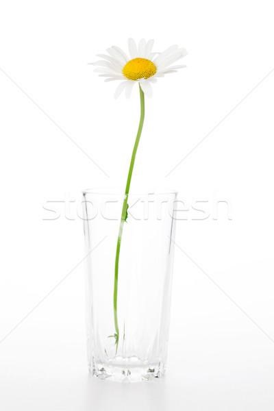 Gänseblümchen Kamille Blume Glas isoliert weiß Stock foto © karandaev
