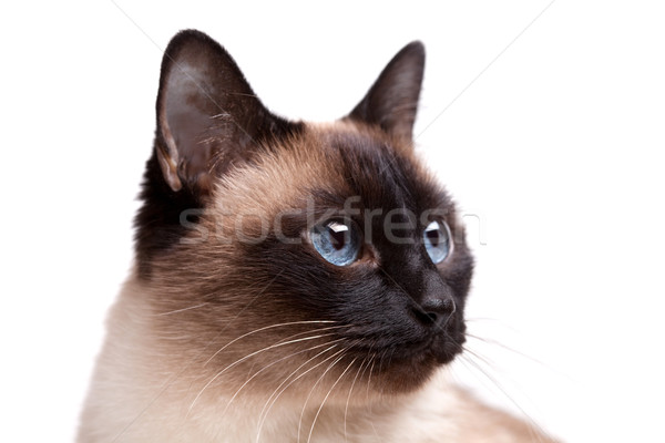 Siamese cat with blue eyes looks right Stock photo © karandaev