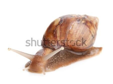 Snail Stock photo © karandaev
