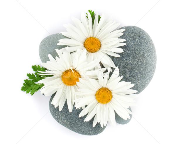 Daisy camomille fleur mer pierres isolé Photo stock © karandaev