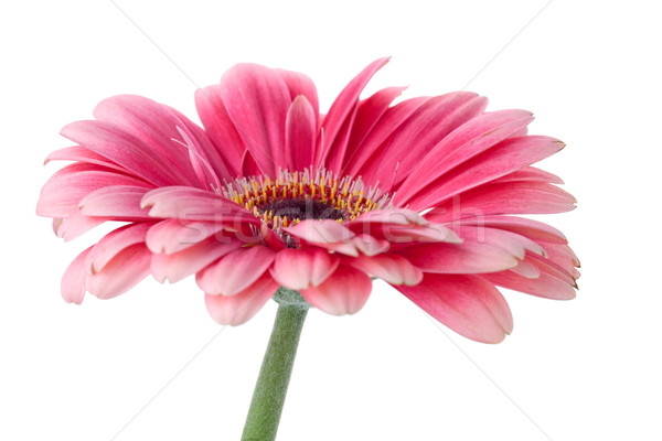 Pink gerbera flower on stem Stock photo © karandaev
