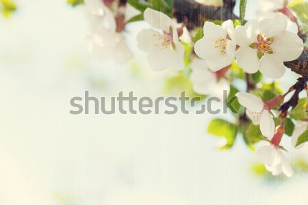 Sakura, cherry blossom Stock photo © karandaev