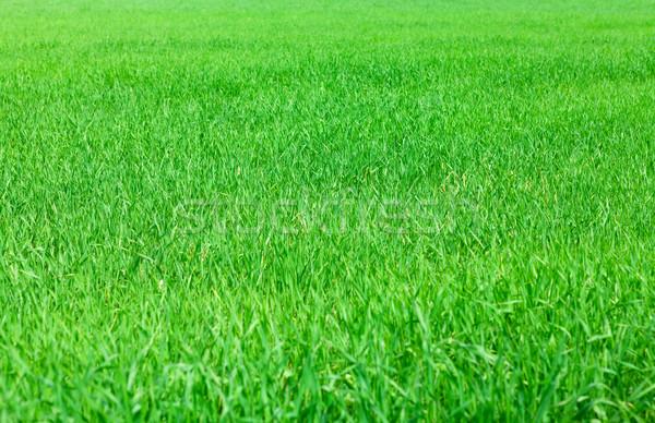зеленая трава области луговой весны трава природы Сток-фото © karandaev