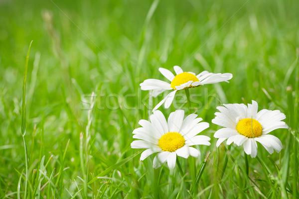 çiçekler çim alanı güneşli yaz gün Stok fotoğraf © karandaev