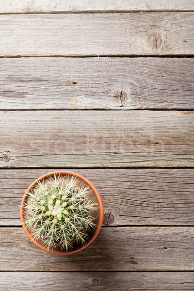 Cactus plant in flower pot Stock photo © karandaev