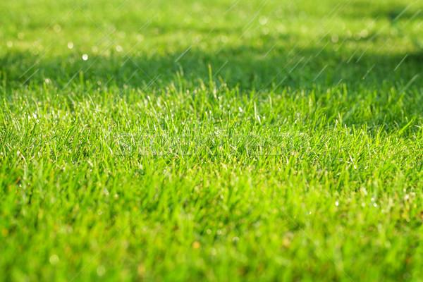 Green grass sunny field Stock photo © karandaev