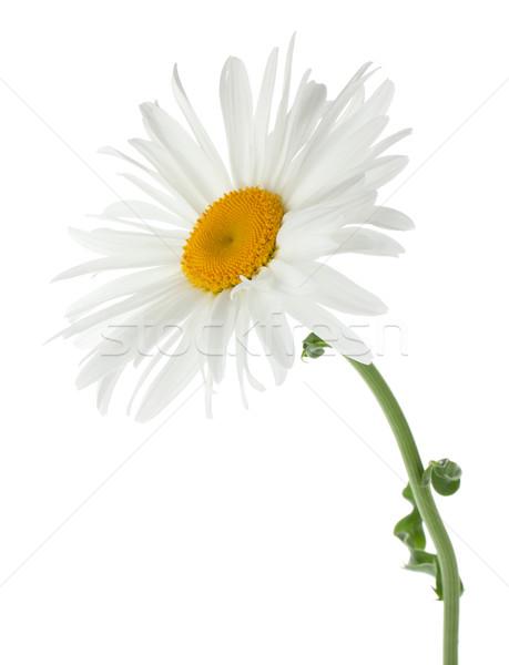 Kamille bloem geïsoleerd witte voorjaar abstract Stockfoto © karandaev