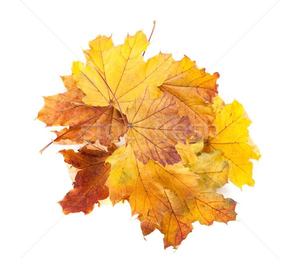 Stock fotó: Színes · ősz · juhar · levelek · izolált · fehér