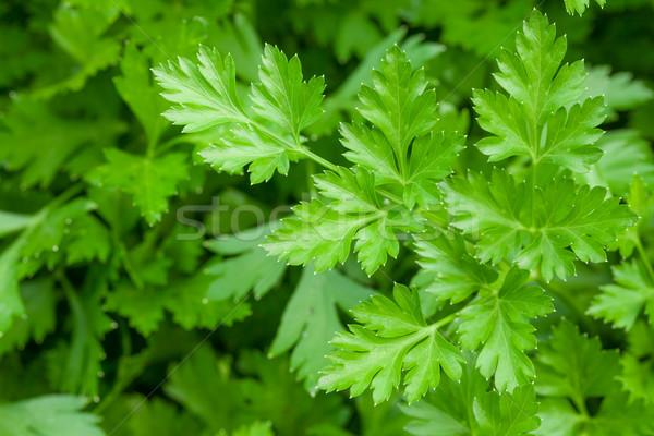 Groene tuin peterselie bladeren voedsel natuur Stockfoto © karandaev