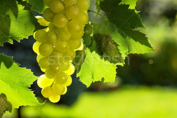 Branco uvas videira monte folha jardim Foto stock © karandaev