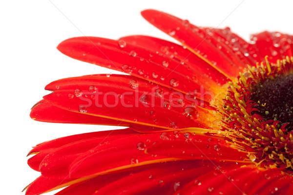 Rosso fiore gocce d'acqua primo piano isolato bianco Foto d'archivio © karandaev