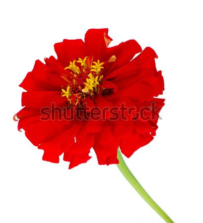 Red flower Stock photo © karandaev
