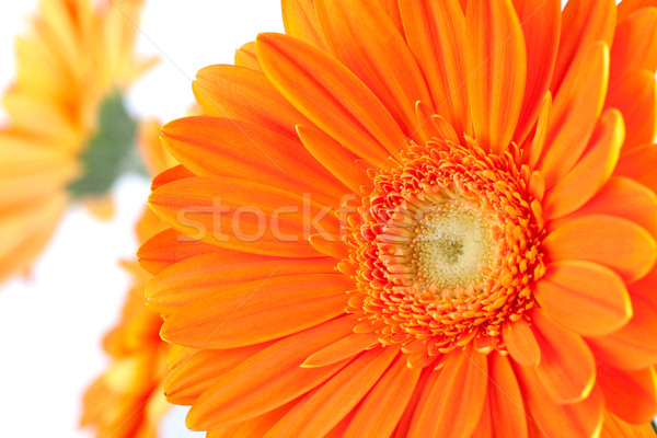 Orange gerbera flowers Stock photo © karandaev