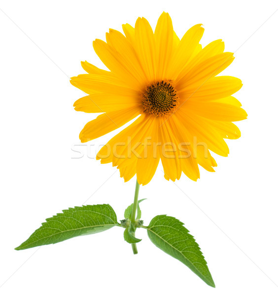 Yellow flower Stock photo © karandaev