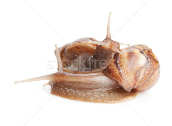 Two snails Stock photo © karandaev