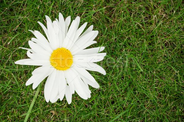 Camomille fleur herbe verte espace de copie soleil nature Photo stock © karandaev