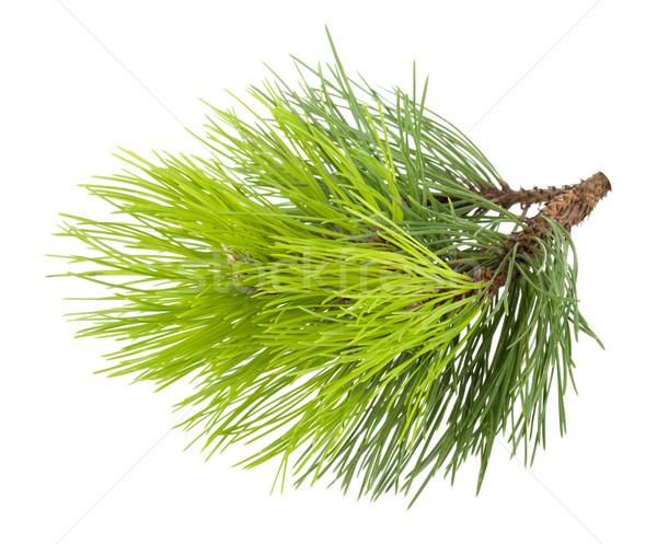 Fir tree branch Stock photo © karandaev