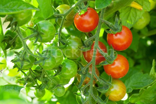 помидоры черри саду продовольствие лет зеленый красный Сток-фото © karandaev