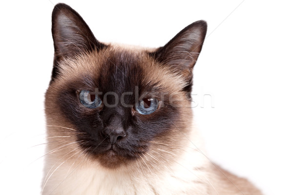 Siamese cat with blue eyes looks in camera Stock photo © karandaev