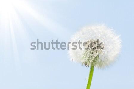 Stock fotó: Pitypang · virág · kék · ég · copy · space · tavasz · nap