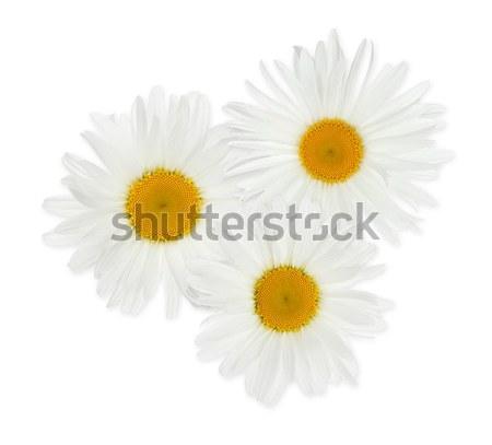 Três camomila flores isolado branco primavera Foto stock © karandaev