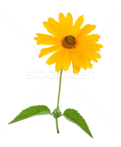 желтый цветок изолированный белый цветок весны природы Сток-фото © karandaev