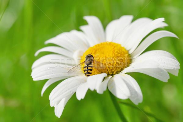 ワスプ 蜂 カモミール 花 晴れた 夏 ストックフォト © karandaev