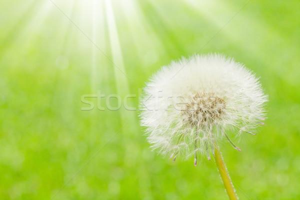 Dandelion flor verde campo cópia espaço fundo Foto stock © karandaev