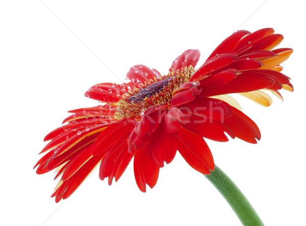 Stok fotoğraf: Su · damlası · kırmızı · çiçek · beyaz · doğa · yaz